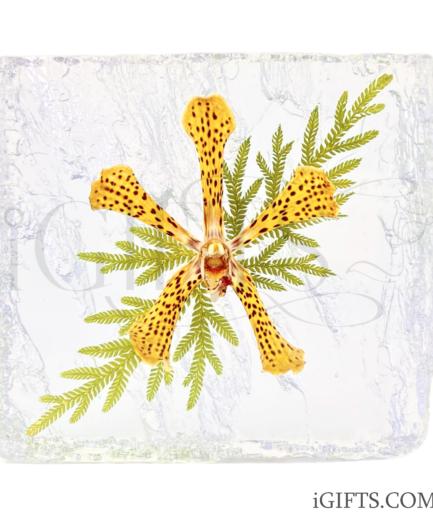 Arachnis Maggie Oei Hybrid Orchid Crystal